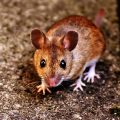 featured image Scientists Made a Mouse That's 4 Percent Human